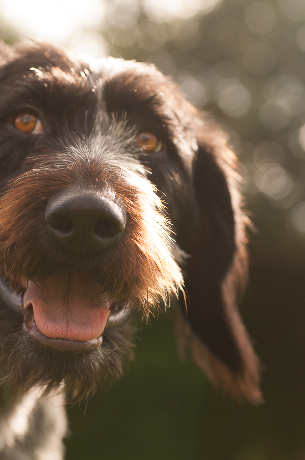 The GWP - German Wirehaired Pointer