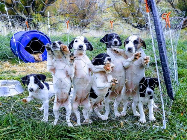 Foxy pups